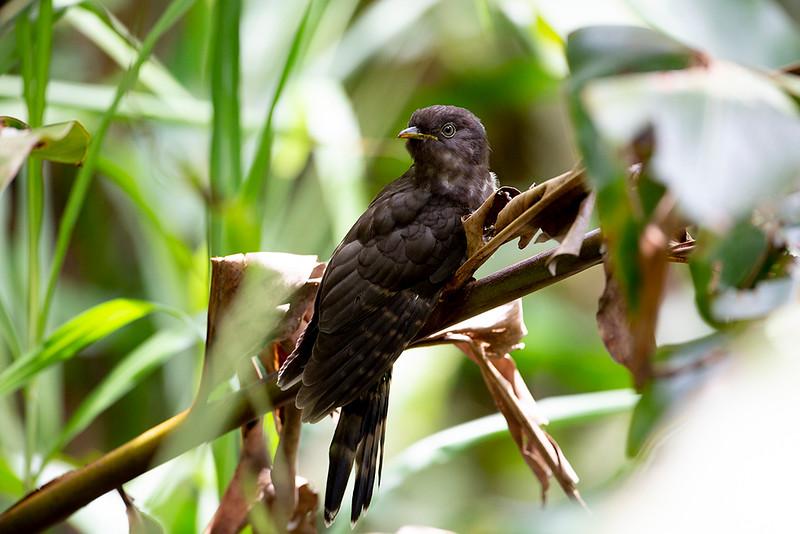 Dark Hawk-Cuckoo