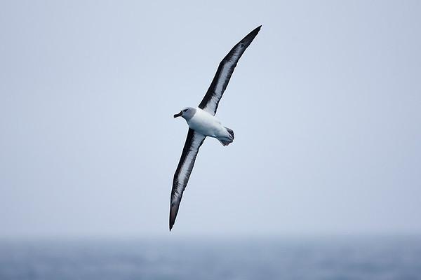 018 Diomedeidae - Albatrosses