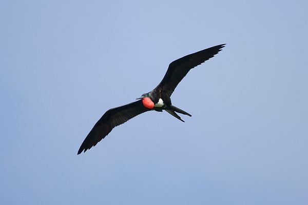 030 Fregatidae - Frigatebirds