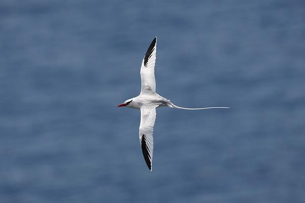 023 Phaethontidae - Tropicbirds