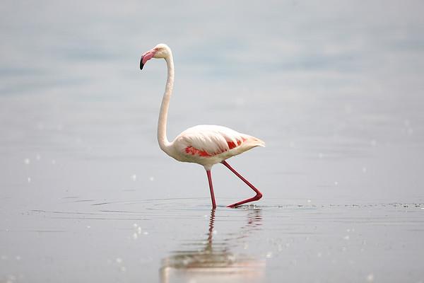022 Phoenicopteridae - Flamingos