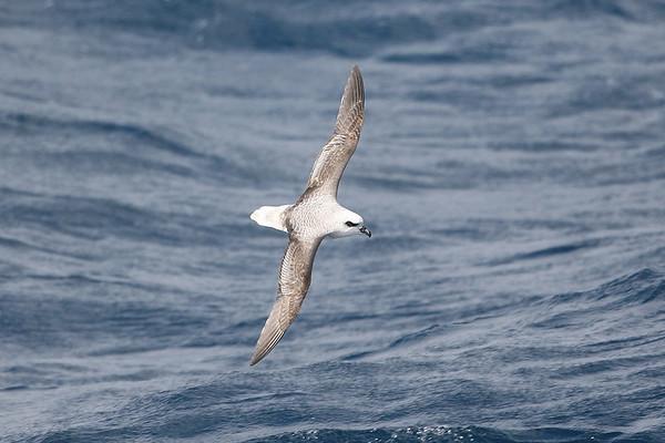 019 Procellariidae - Petrels, Shearwaters & Prions