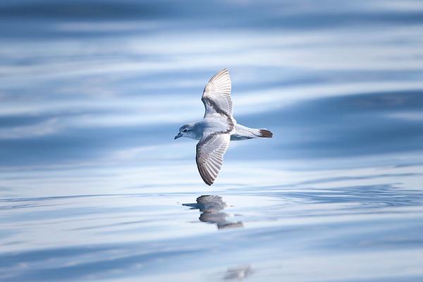 020 Procellariidae - Petrels, Shearwaters & Prions
