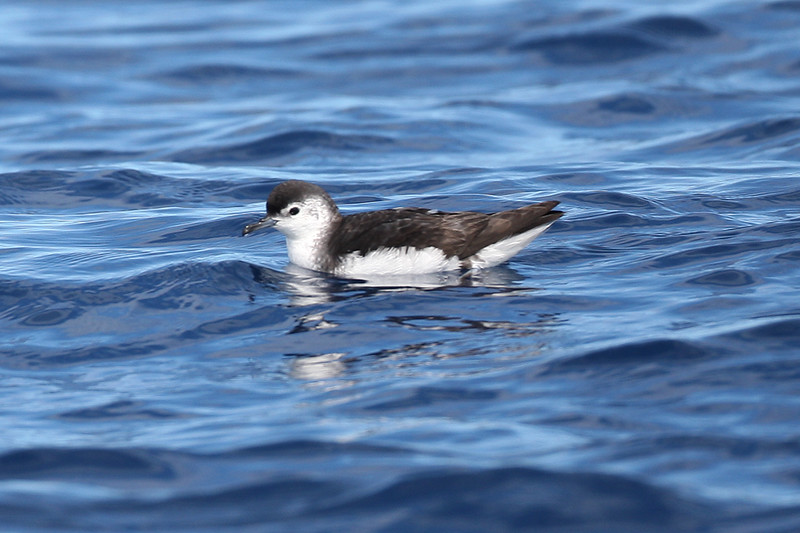 Little Shearwater (nominate race assimilis)