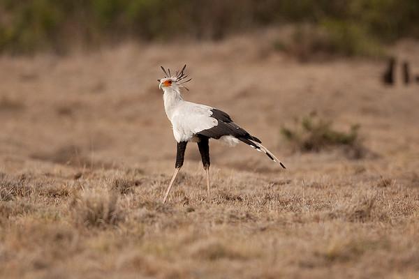 035 Sagittariidae Secretarybird