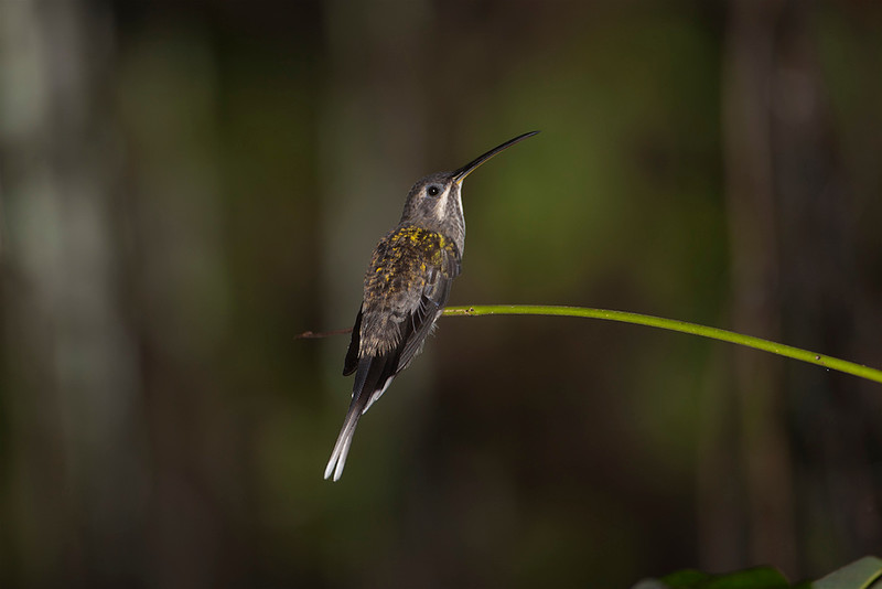 Straight-billed Hermit