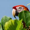 Scarlet Macaw(s)