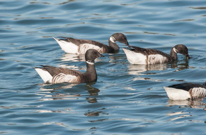 pelagic near san diego