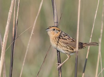 sparrow, towhee, junco, catbird, nuthatch, longspur, dickcissel, and wren