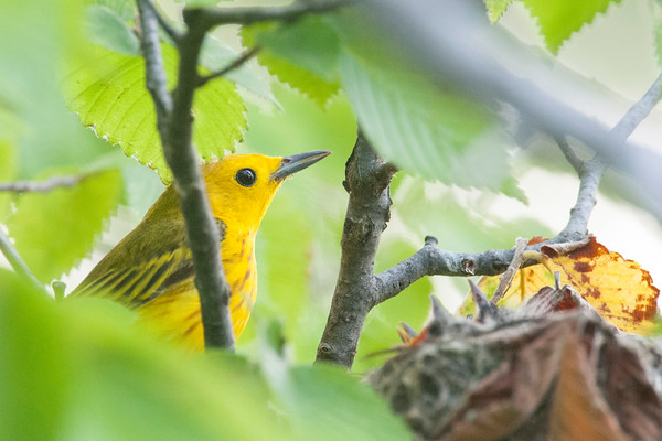 yellow warblers on the nest