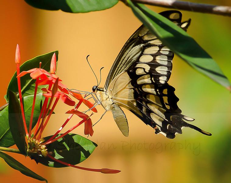 Swallwtail 1