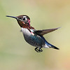 Bee Hummingbird
