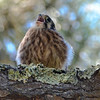 Baby Kestrel Girl