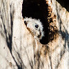 American Kestrel almost ready to fledge