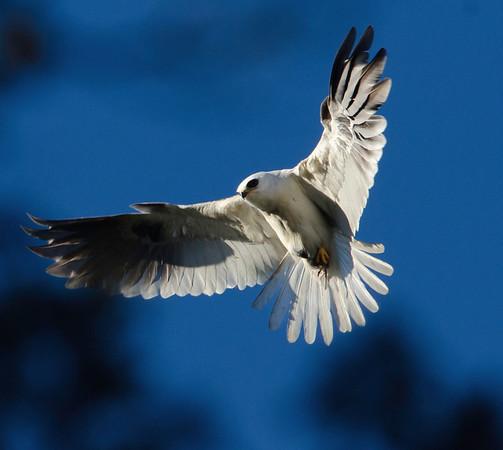 White-tail Kite parent bringing breakfast