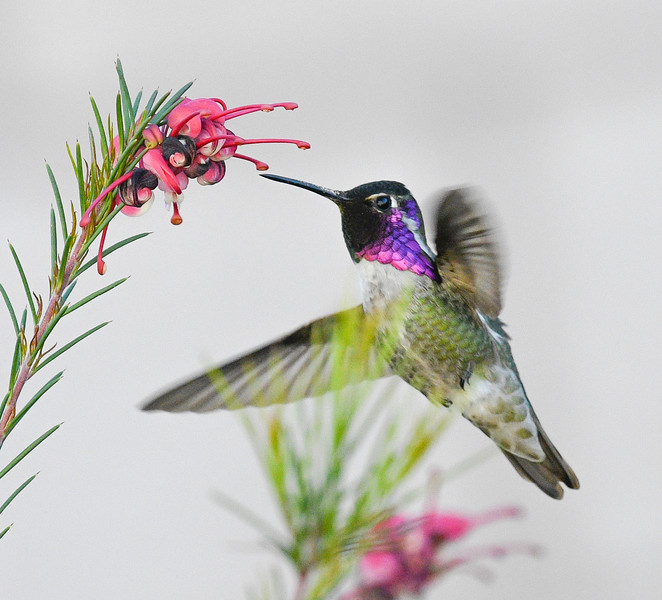 Costas/Anna's Hummingbird
