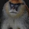 Patas Male Monkey: San Francisco Zoo