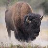 Bison-Dust Bath