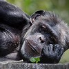 Chimpanzee at the San Francisco Zoo