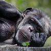 Chimpanzee at the San Francisco Zoo