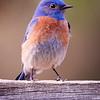 Western Blue Bird (M)