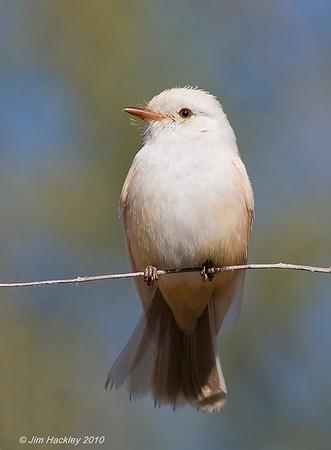Leucistic Vermilion Flycatcher
