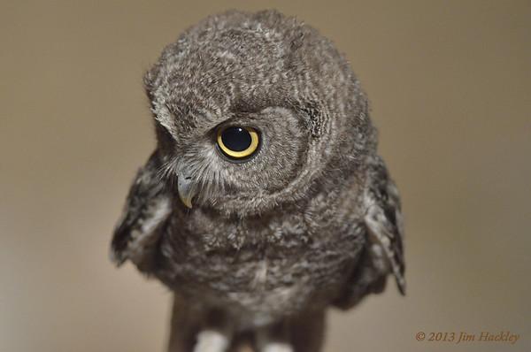 Juvenile Elf Owl