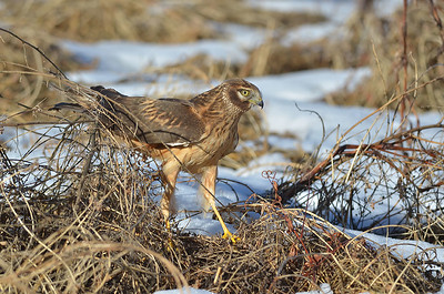 Jv Northern Harrier