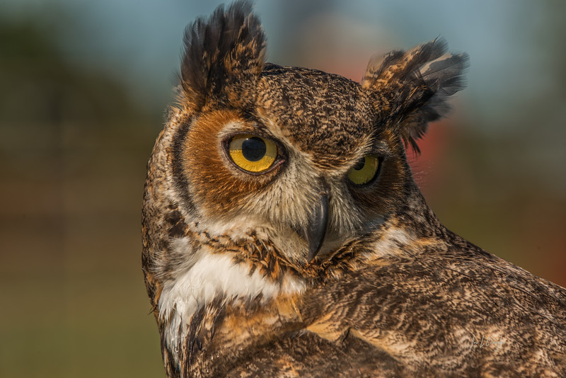 Male Horned Owl