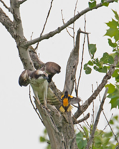 Osprey and Oriole