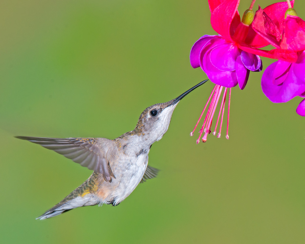 Ruby Throated Hummingbird at Fuschia