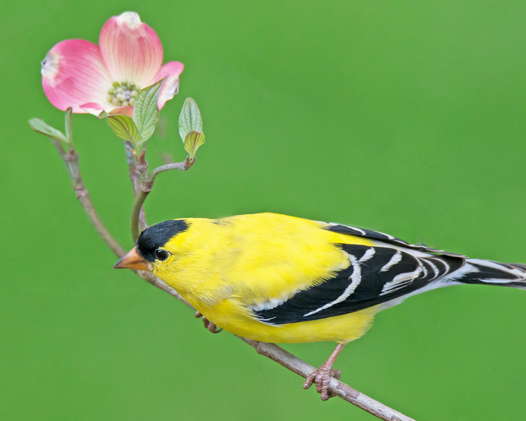 Goldfinch in Dogwood