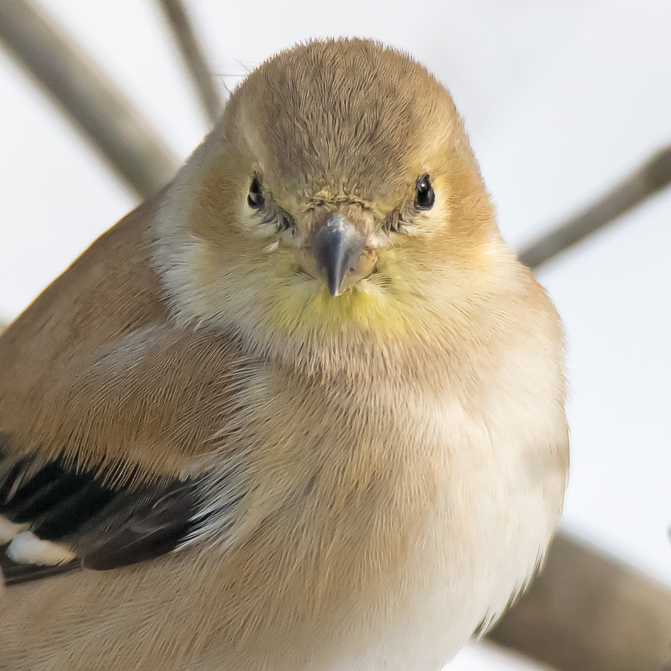 Gold Finch in Winter