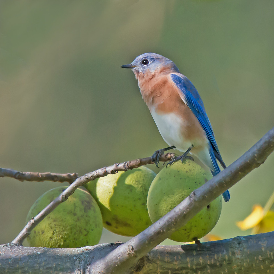 Blue Bird with Walnuts