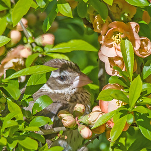 Red-breasted Grosbeak in the Quince