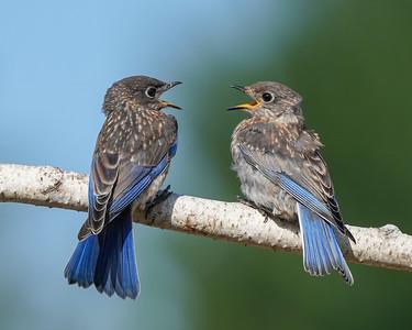 Juvenile Eastern bluebird (siblings)