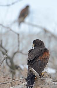 Harris Hawks