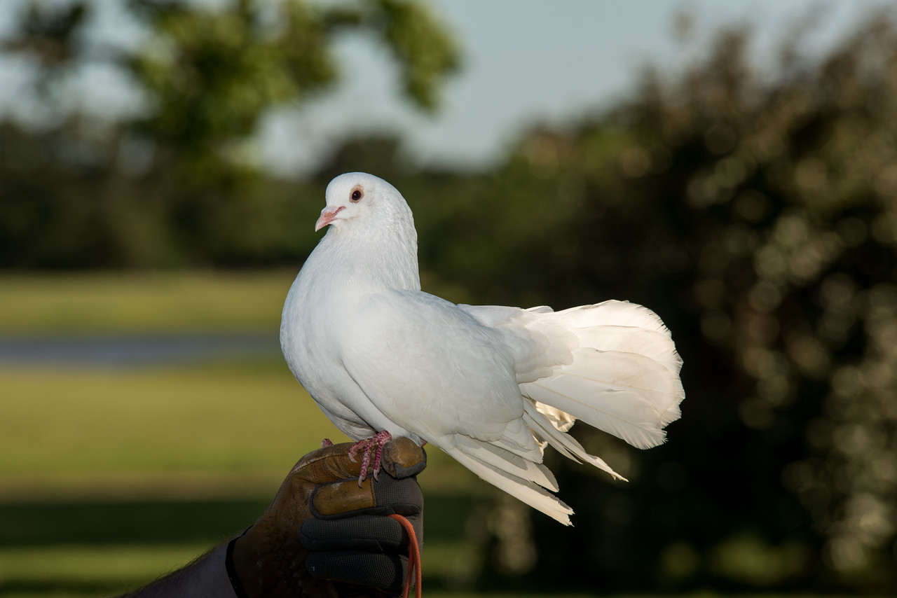 Wedding Dove