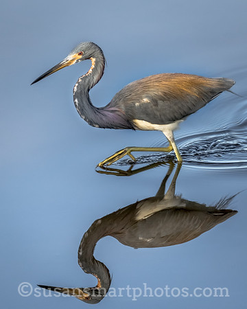 Beautiful tri-color heron quietly searching for food in the early morning.  This image won a Blue Ribbon in statewide competition for camera club members October 2017.  Color Category.