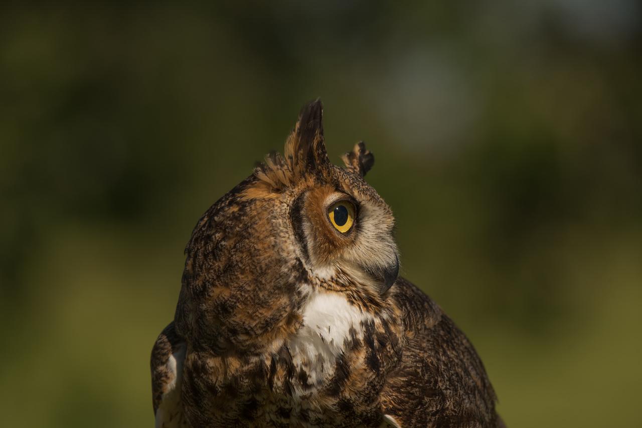 Male Horned Owl