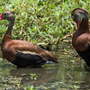 Black-Belied Whistler Duck