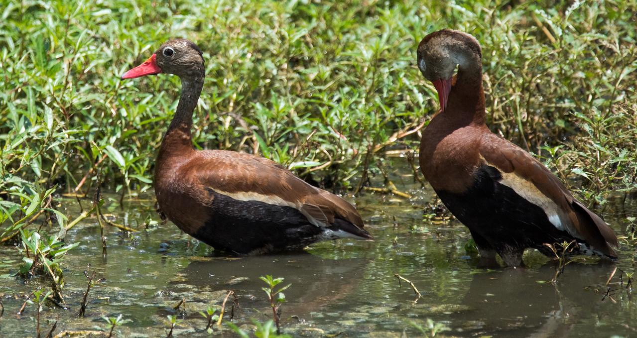 Black-Belied Whistler Duck
