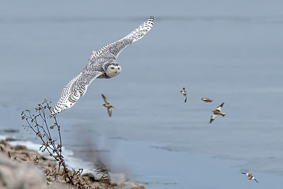 Snowy Owl and Snow Buntings
