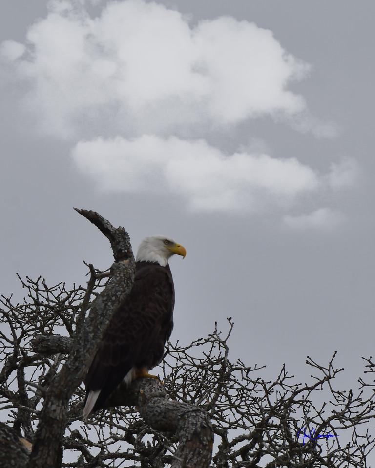 Eagle Proud