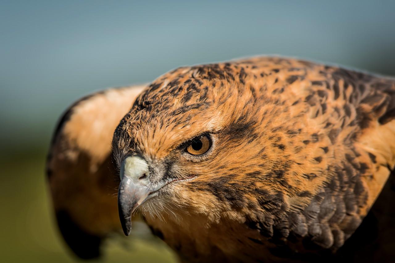 Merlin Hawk
