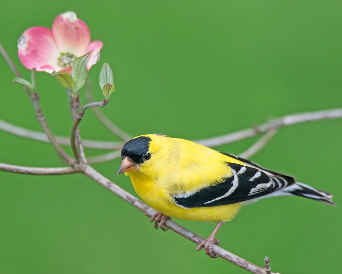 Goldfinch in Dogwood