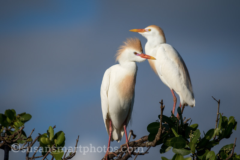 Egret in Courting Plumage