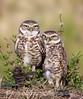 Ma & Pa Owl