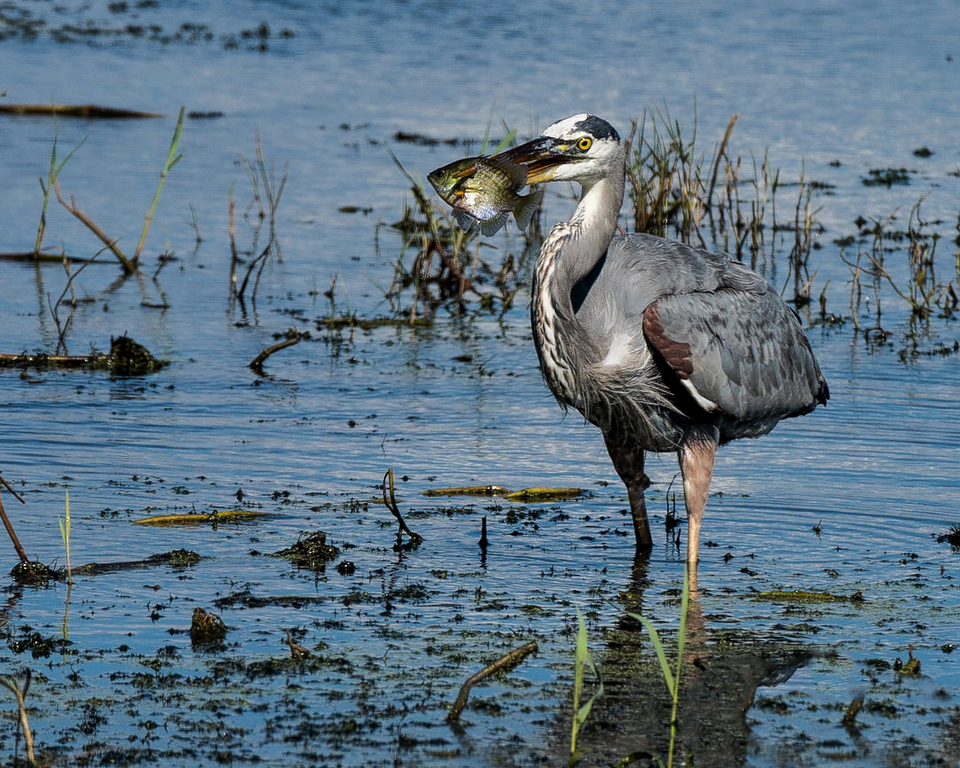Dinner with a Heron