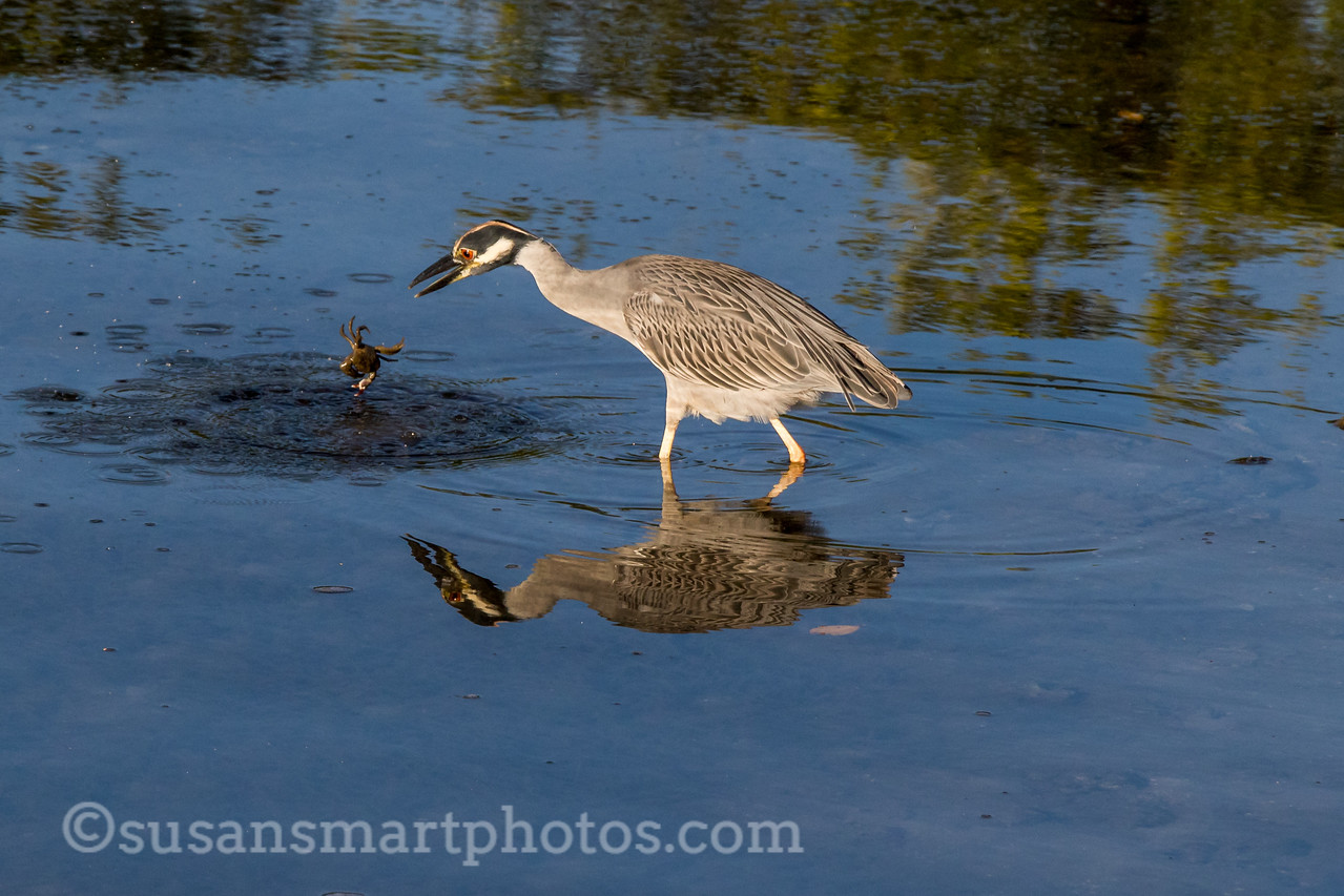 Yellow Crowned Night Heron with Crab